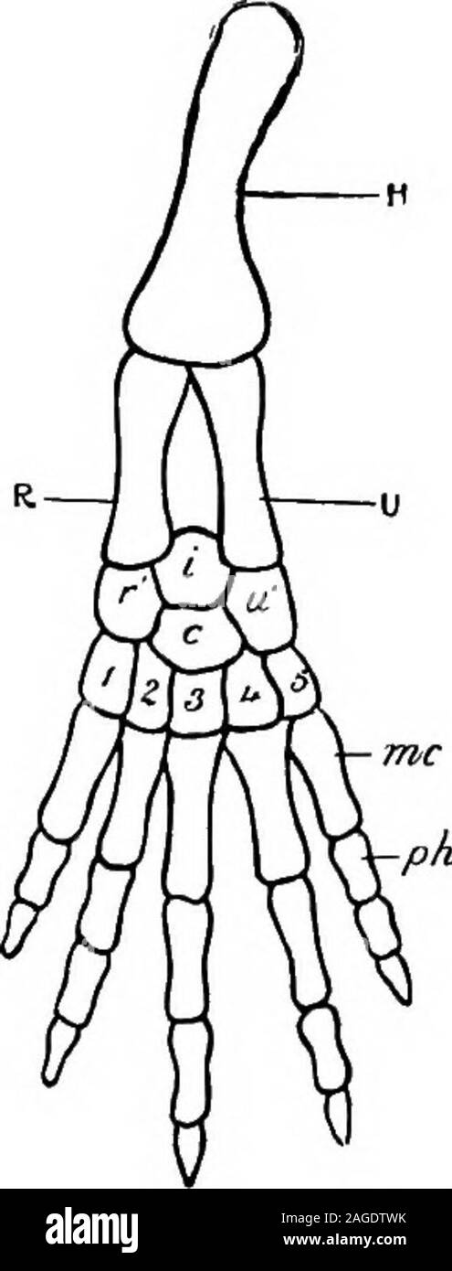 . Outlines of zoology. omposed of several phalanges. The hind limb—from Amphibians onwards—consistsof a femur articulating with the girdle, a lower leg com-posed of a tibia and fibula lying side by side, an ankle region or tarsus of several elements, a foot with metatarsalbones in the sole, and with toes composed of severalphalanges. In Fishes the limbs are fins, i.e. without digits. Distinct from the other bones are a few little sesamoidsof occasional occurrence, e.g. the knee-pan or patella. Theydevelop in connection with the tendons of muscles. Nervous system.—This includes—(a) the central Stock Photo