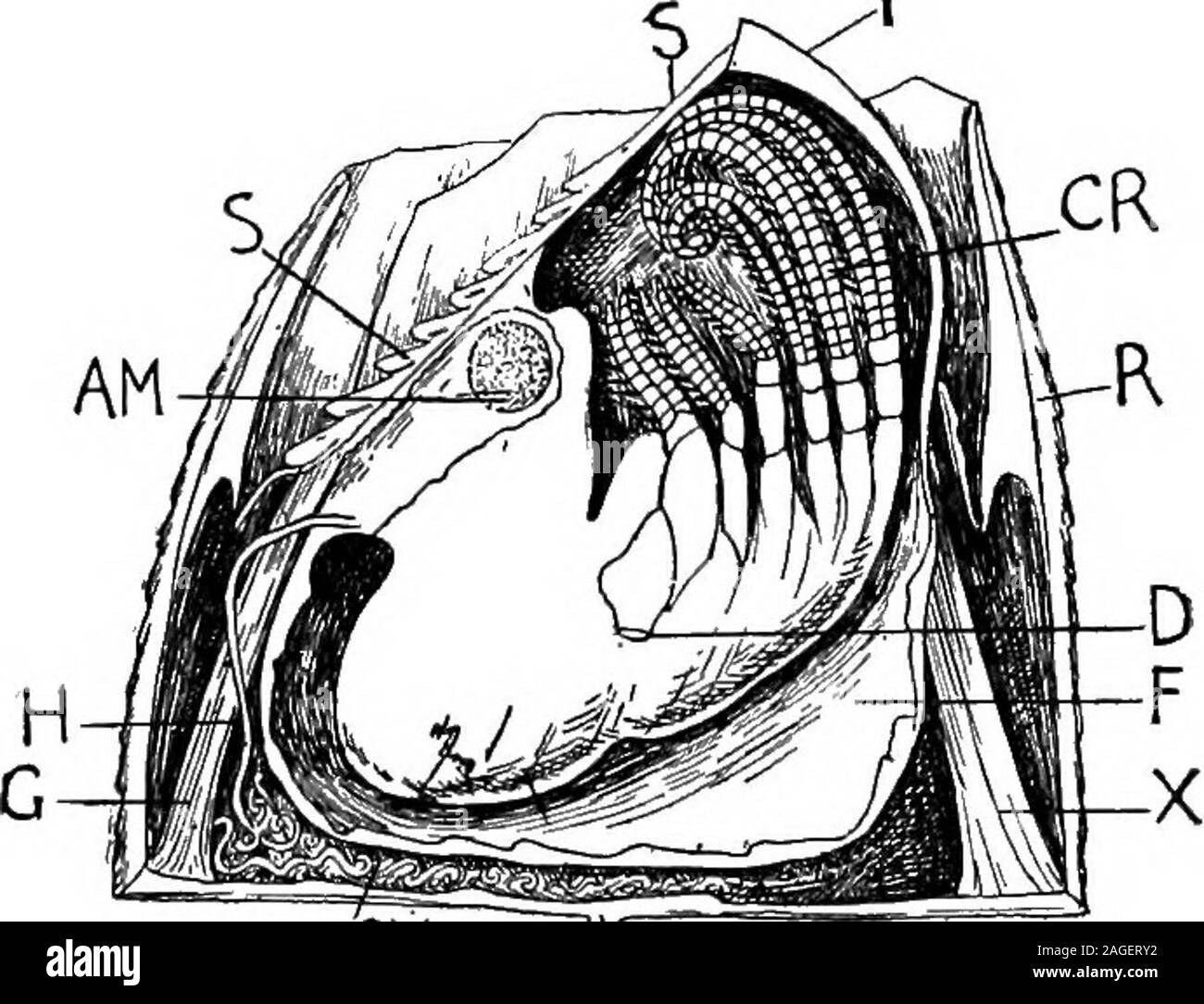 . Outlines of zoology. the base of this lies theanus. Around the body there is a fold of skin, and from this ariie fivecalcareous plates, an unpaired dorsal carina, two scuta right and left 304 PHYLUM ARTHROPODA. anteriorly, two terga at the free posterior end. The nervous systemconsists of a brain, an cesophageal ring, and a ventral chain of five orrnore ganglia. There is a fused pair of rudimentary eyes. No specialcirculatory or respiratory organs are known. Two excretory (?) tubeslead from (ccelomic) cavities to the base of the second maxillae, and areprobably comparable with shell glands a Stock Photo