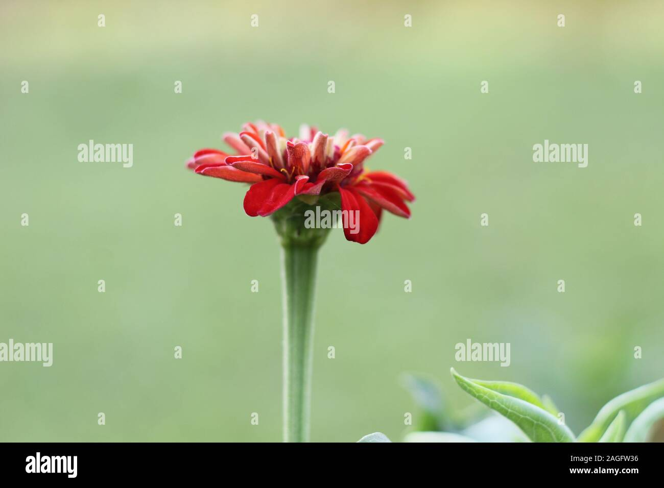 red color marigold flower Stock Photo