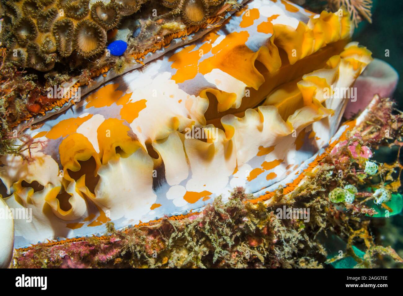 Thorny oyster [Spondylus varians], pattern of mantle.  North Sulawesi, Indonesia. Stock Photo