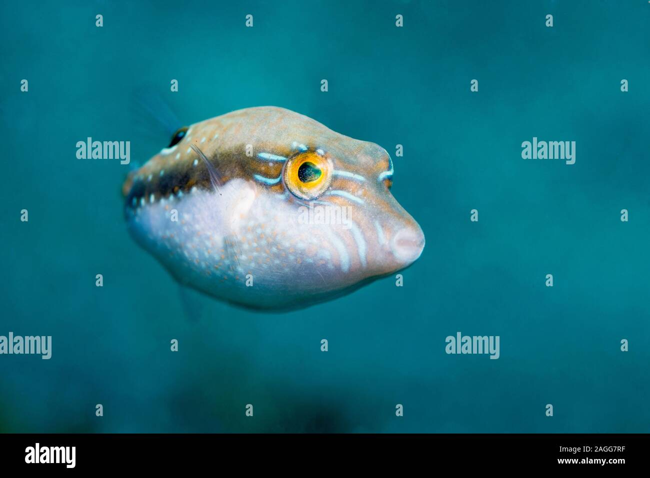 Bennets's toby, Bennet's sharpnose puffer [Canthigaster bennetti].  North Sulawesi, Indonesia. Stock Photo