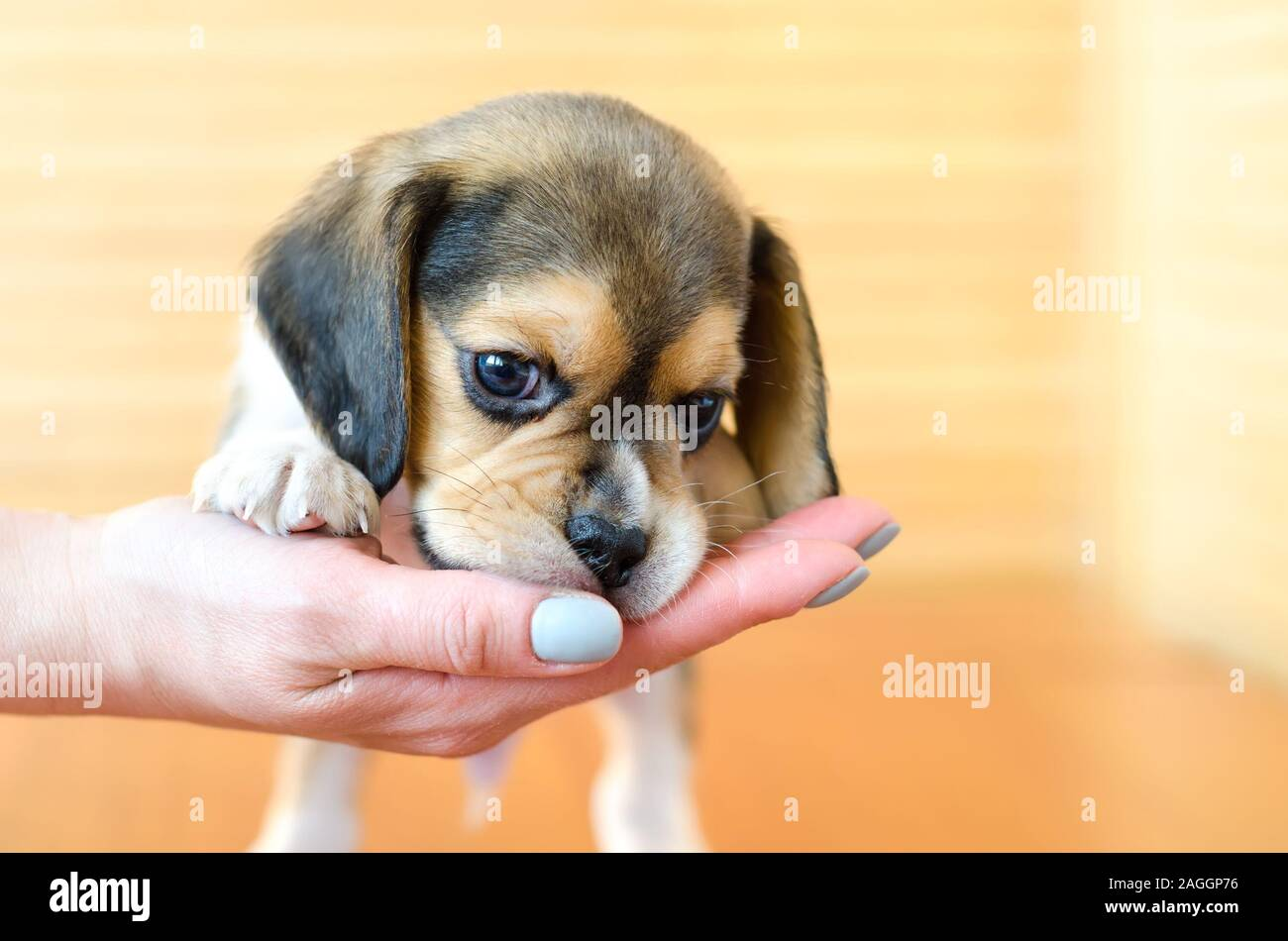Cute Beagle Puppy On The Hand Stock Photo Alamy
