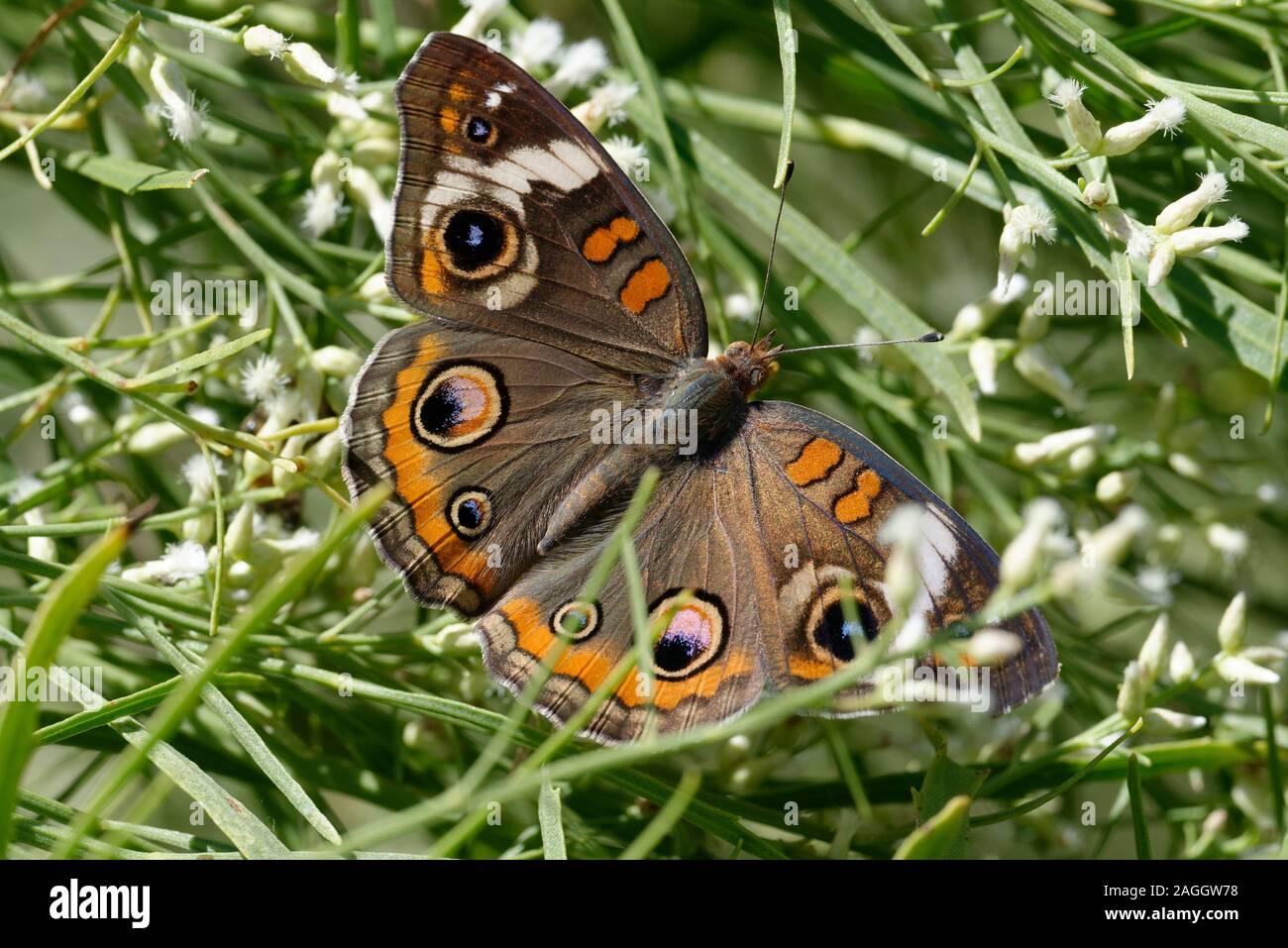 Common Buckeye Butterfly feeding on flowers Stock Photo