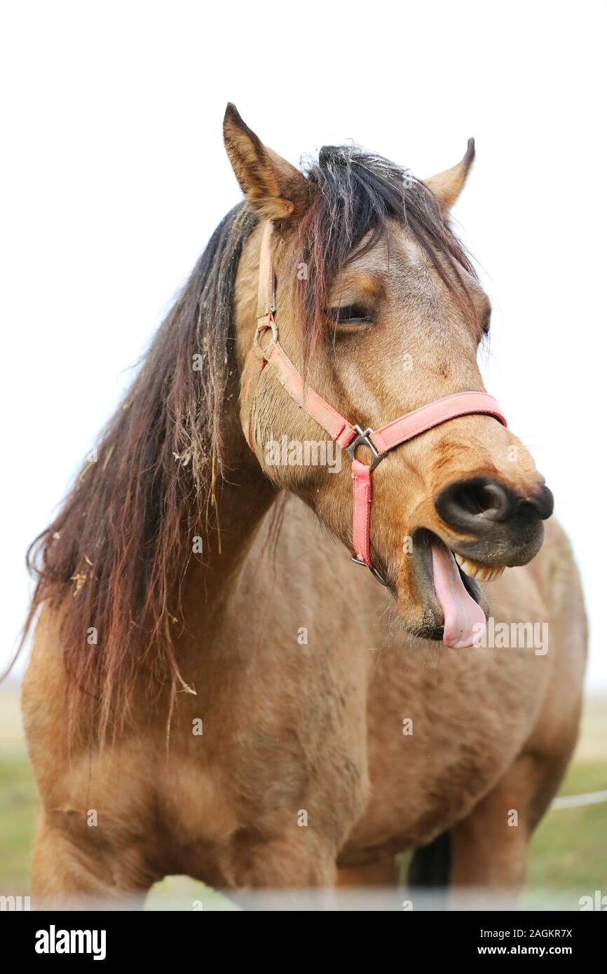 Funny Horse Head Closeup Of Young Mare Smiling And Laughing With Large Teeth Selective Focus On The Teeth And Nose Stock Photo Alamy