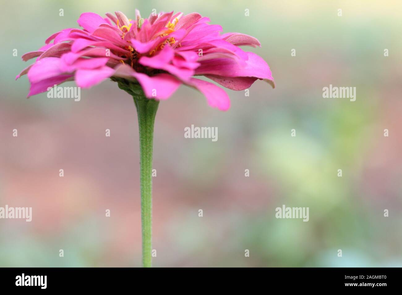 marigold flower pink color close up Stock Photo