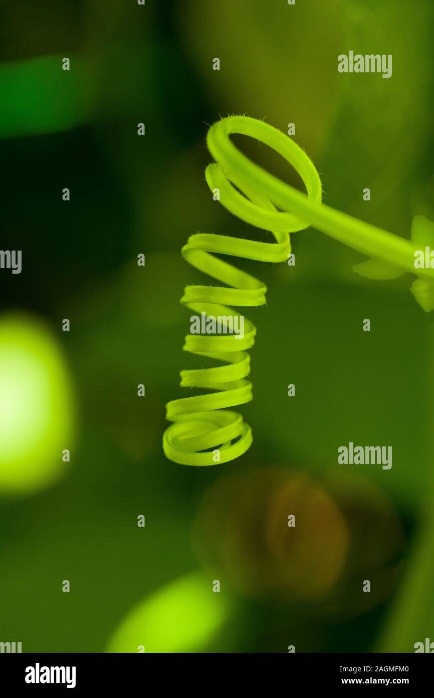A green natural plant Tendril Stock Photo