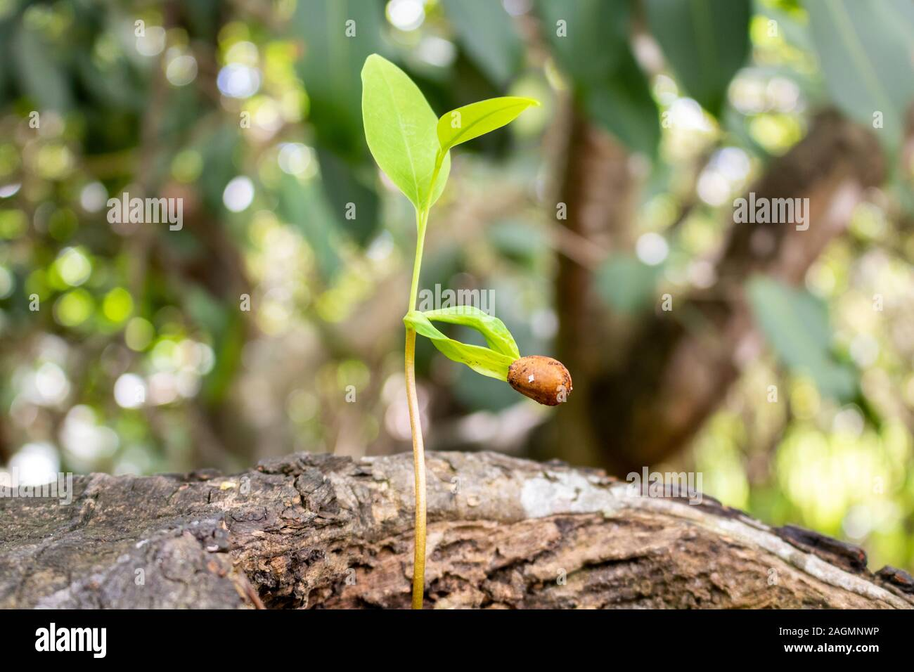 plant germinating on the trunk of a tree on a sunny day in Brazil Stock Photo