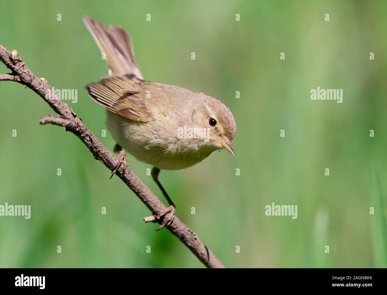 The common chiffchaff, or simply the chiffchaff, (Phylloscopus collybita) is a common and widespread leaf warbler. Stock Photo