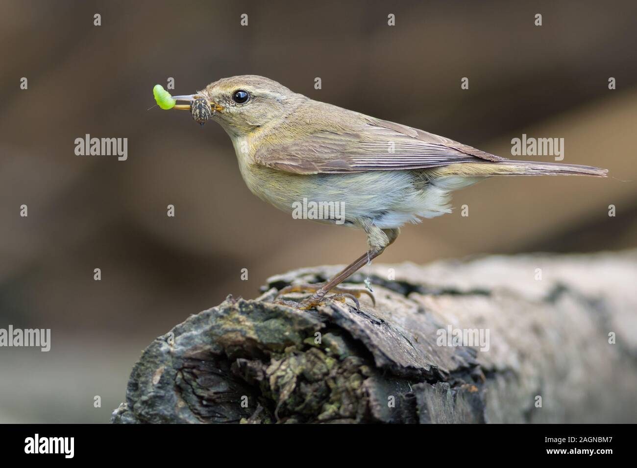 The common chiffchaff, or simply the chiffchaff, (Phylloscopus collybita) is a common and widespread leaf warbler which breeds in open woodlands throu Stock Photo