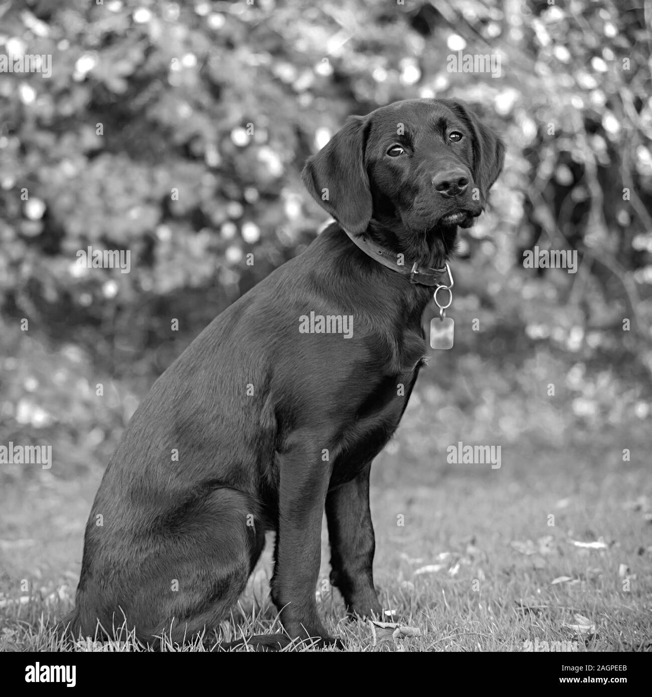 Against a blurred soft-focussed background, a young Labrador sits ready during outdoor training, eyes bright and fixed, anticipating the next command. Stock Photo