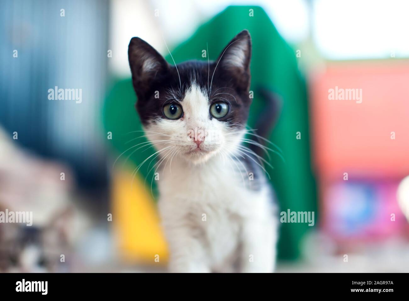 Homeless black and white kitten looking at camera on the street. Animal protection concept Stock Photo
