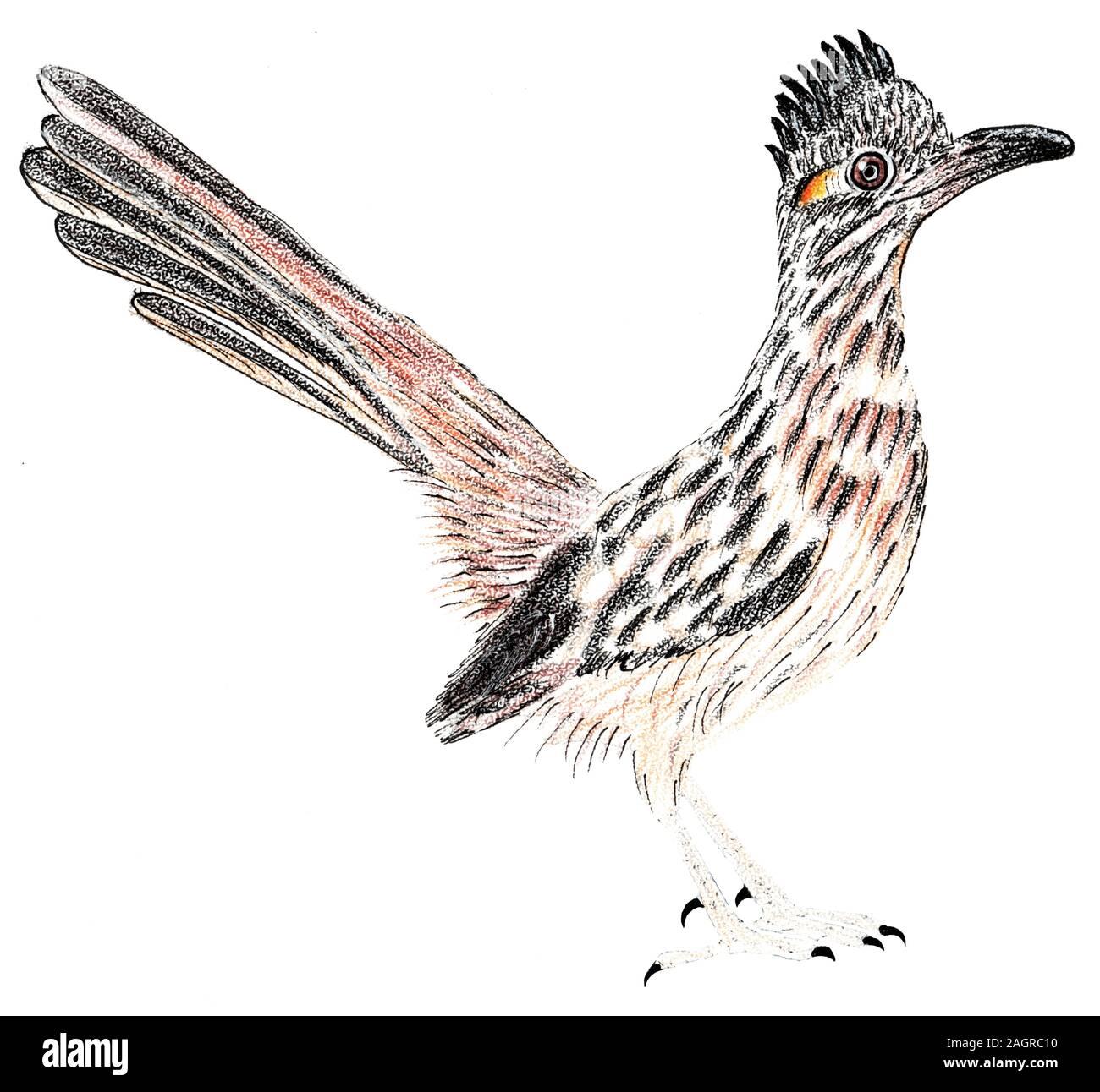 Road Runner Greater Roadrunner Geococcyx Californianus Bird Illustration Stock Photo Alamy