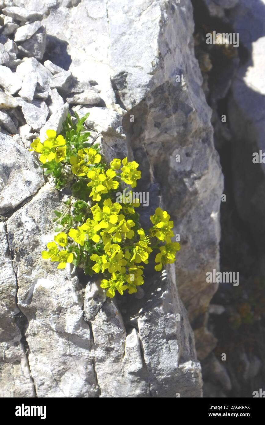 Watzmannüberschreitung: 2. Tag, Immergrünes Felsenblümchen, eine botanische Kostbarkeit auf dem Gratweg  zum Watzmann Südgipfel. Stock Photo