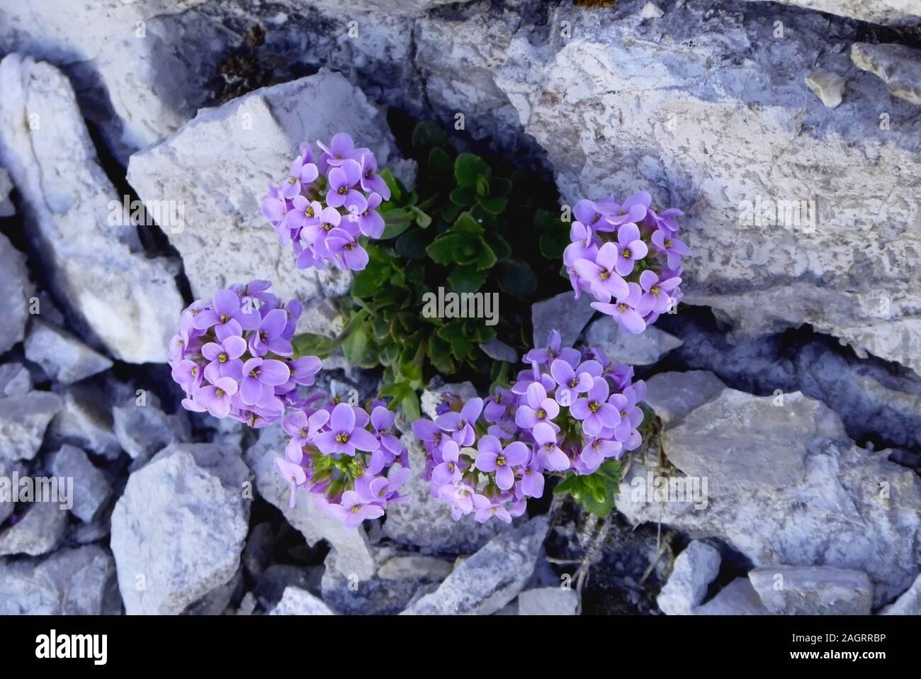 Watzmannüberschreitung: 2. Tag, Rundblättriges Täschelkraut, eine botanische Kostbarkeit auf dem Gratweg  zum Watzmann Südgipfel. Stock Photo