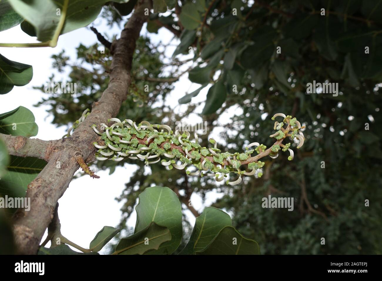 Pflanze Johannisbrotbaum Ceratonia siliqua
