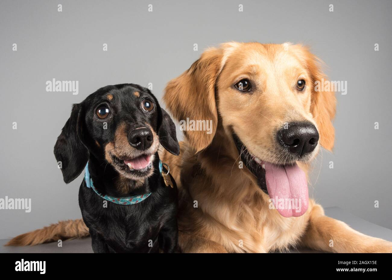 Miniature Dachshund (9yrs) & a Golden Retriever puppy 10months Stock Photo