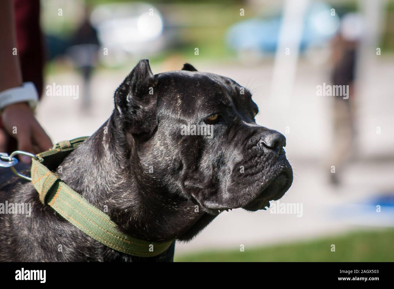 Black Brindle High Resolution Stock Photography And Images Alamy