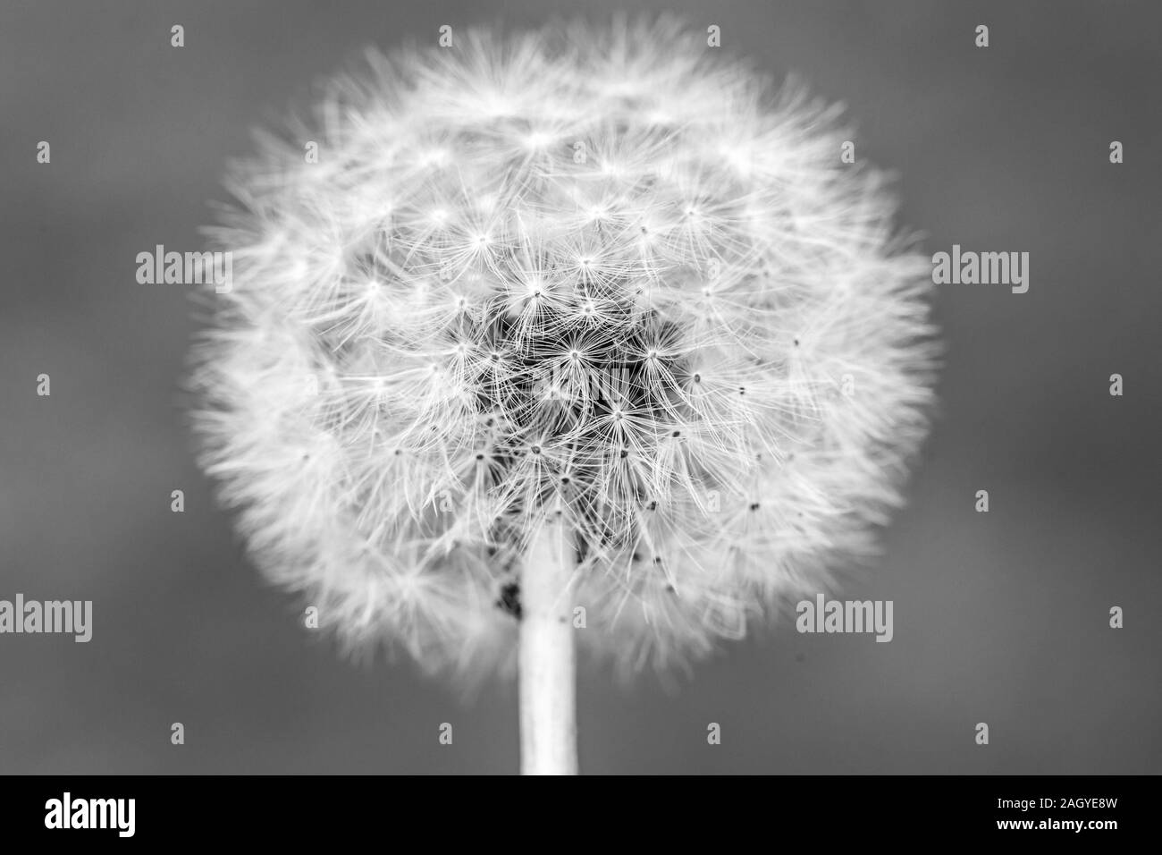 Black and white Dandelion head with seeds , Taraxacum officinale, close up. Idea for wallpaper. Stock Photo