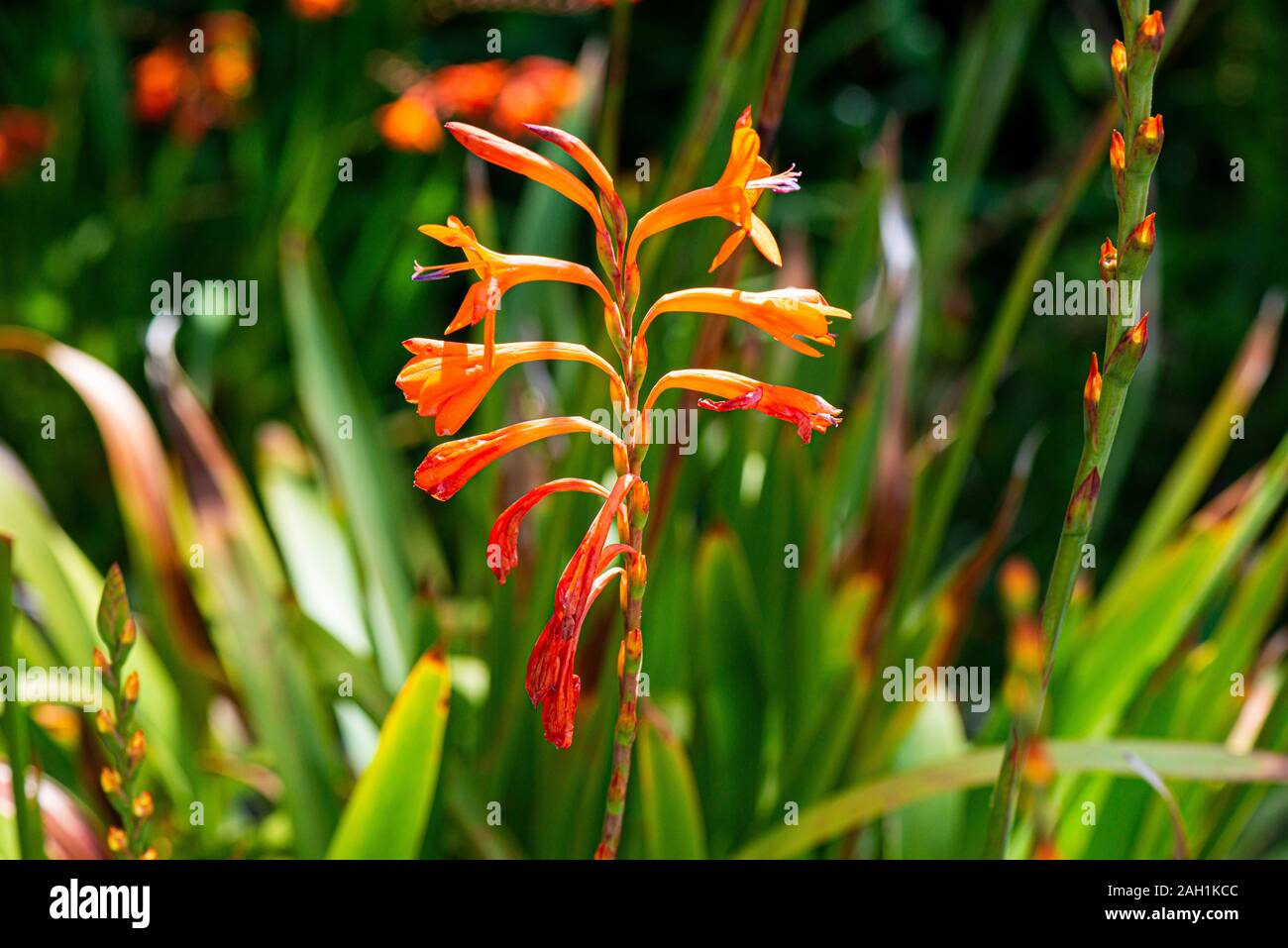 25 Orange Watsonia High Resolution Stock Photography and Images   Alamy