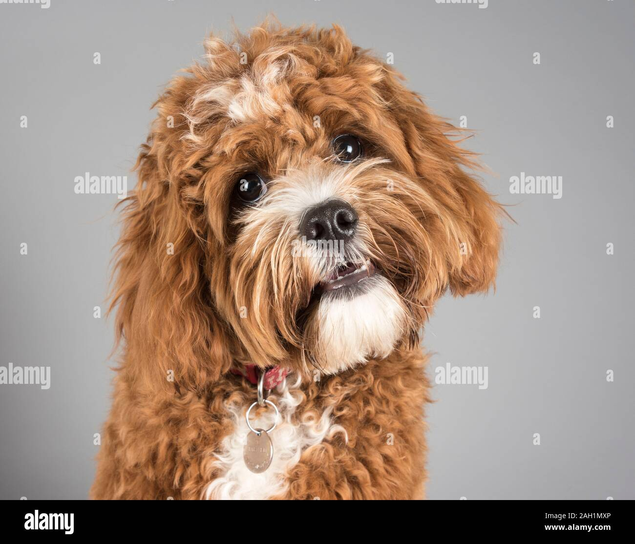 Cavapoo Dog High Resolution Stock Photography And Images Alamy
