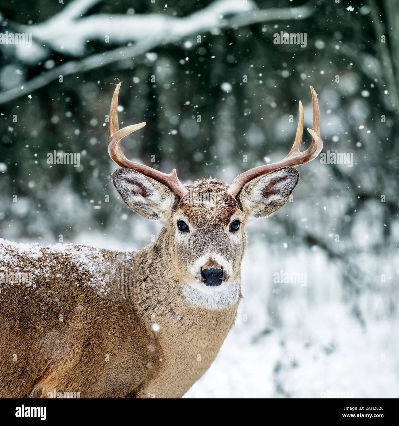 White-tailed Deer Buck, Odocoileus virginianus, in winter snowfall, Birds Hill Provincial Park, Manitoba, Canada. Stock Photo