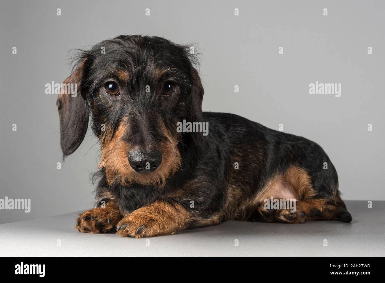 Miniature Male Wire Haired Dachshund Puppy Relaxing Photographed In The Uk Stock Photo Alamy