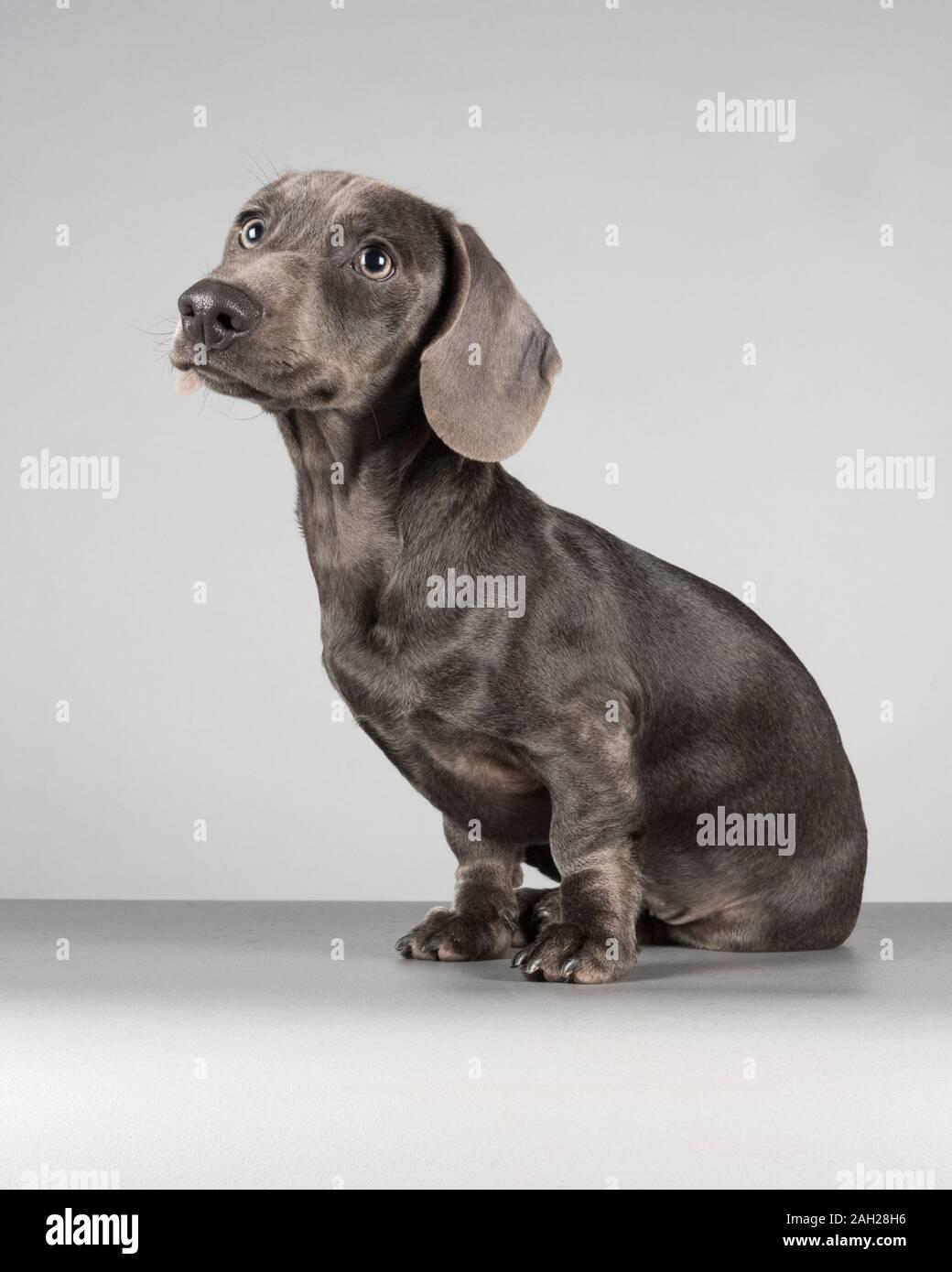 4 Month Old Blue Miniature Dachshund Puppy Male Uk Stock Photo Alamy
