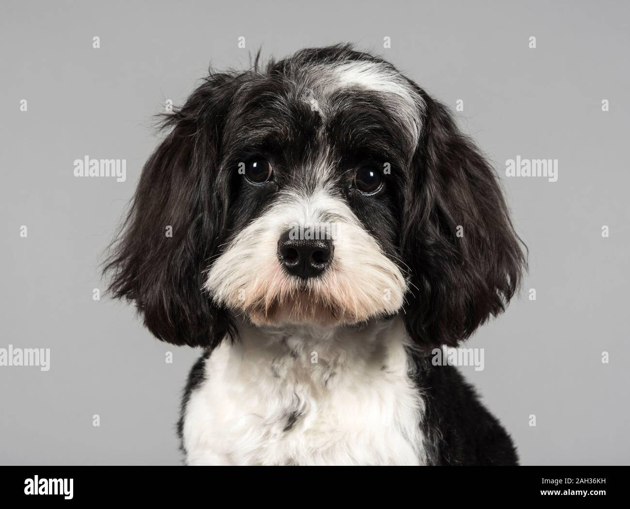 Cavapoo Puppy High Resolution Stock Photography And Images Alamy