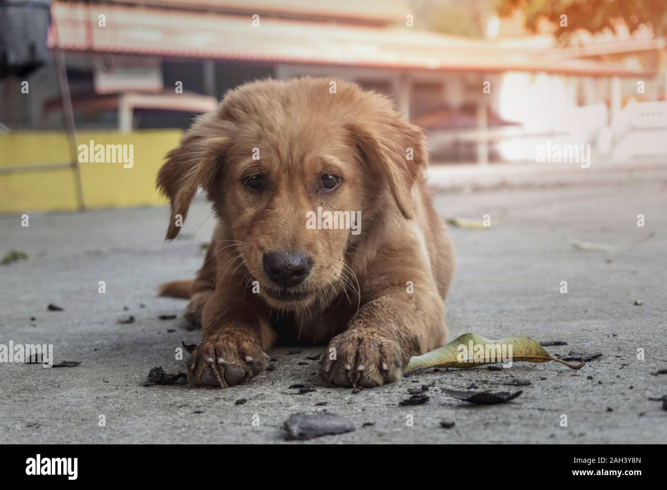 Dog Puppy Breed Golden Retriever Brown Playing On Ground Small Dog Cute For Friendly Stock Photo Alamy
