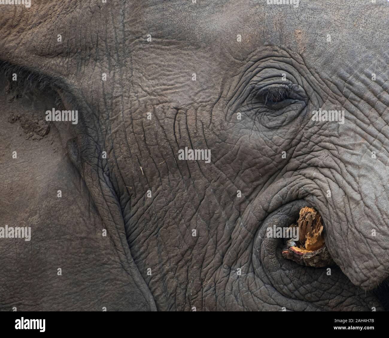 Portrait of an Elephant's Eye and Face while Chewing a Tree in South Africa Stock Photo