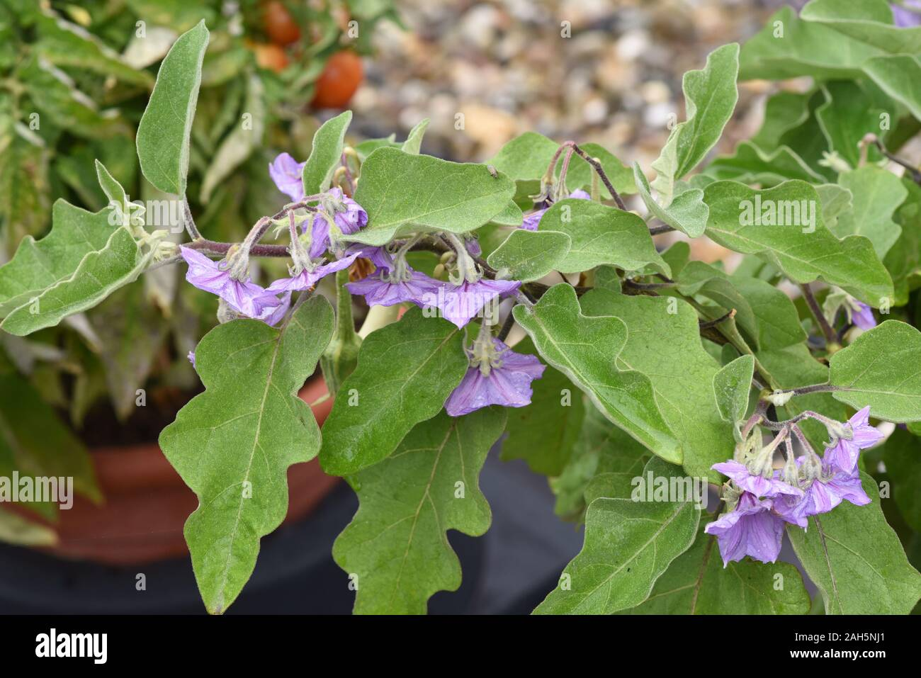 Aubergine, Solanum melongena, auch Eierfrucht genannt, ist eine Gemuese- und Heilpflanze. Eggplant, Solanum melongena, also called egg fruit, is a veg Stock Photo