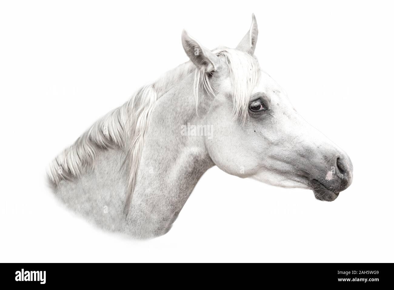Arabian White Horse Portrait Isolated On White Stock Photo Alamy