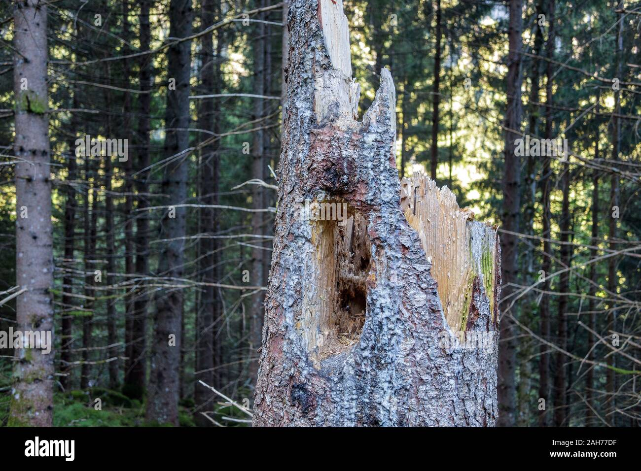 Woodpecker hole.Trunk of dead picea abies tree, bark, spruce forest. Obersulzbachtal. Venediger group. Hohe Tauern National Park. Sulzau. Austrian Alps Stock Photo
