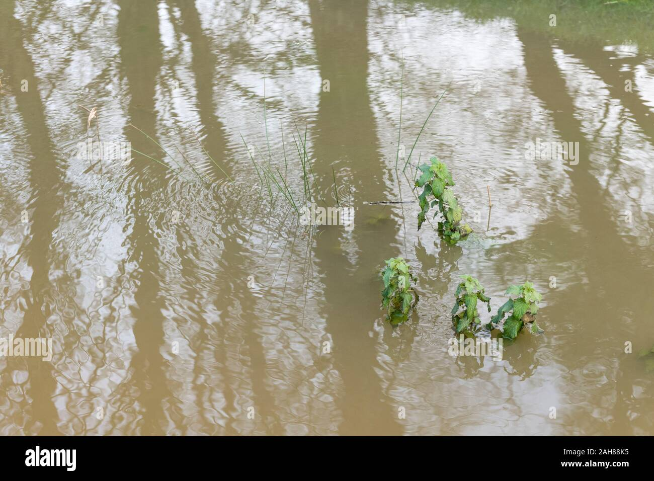 Submerged Nettles / Urtica dioica in flooded drainage channel after heavy rain. Concept flood waters, winter floods, submerged, water reflections. Stock Photo