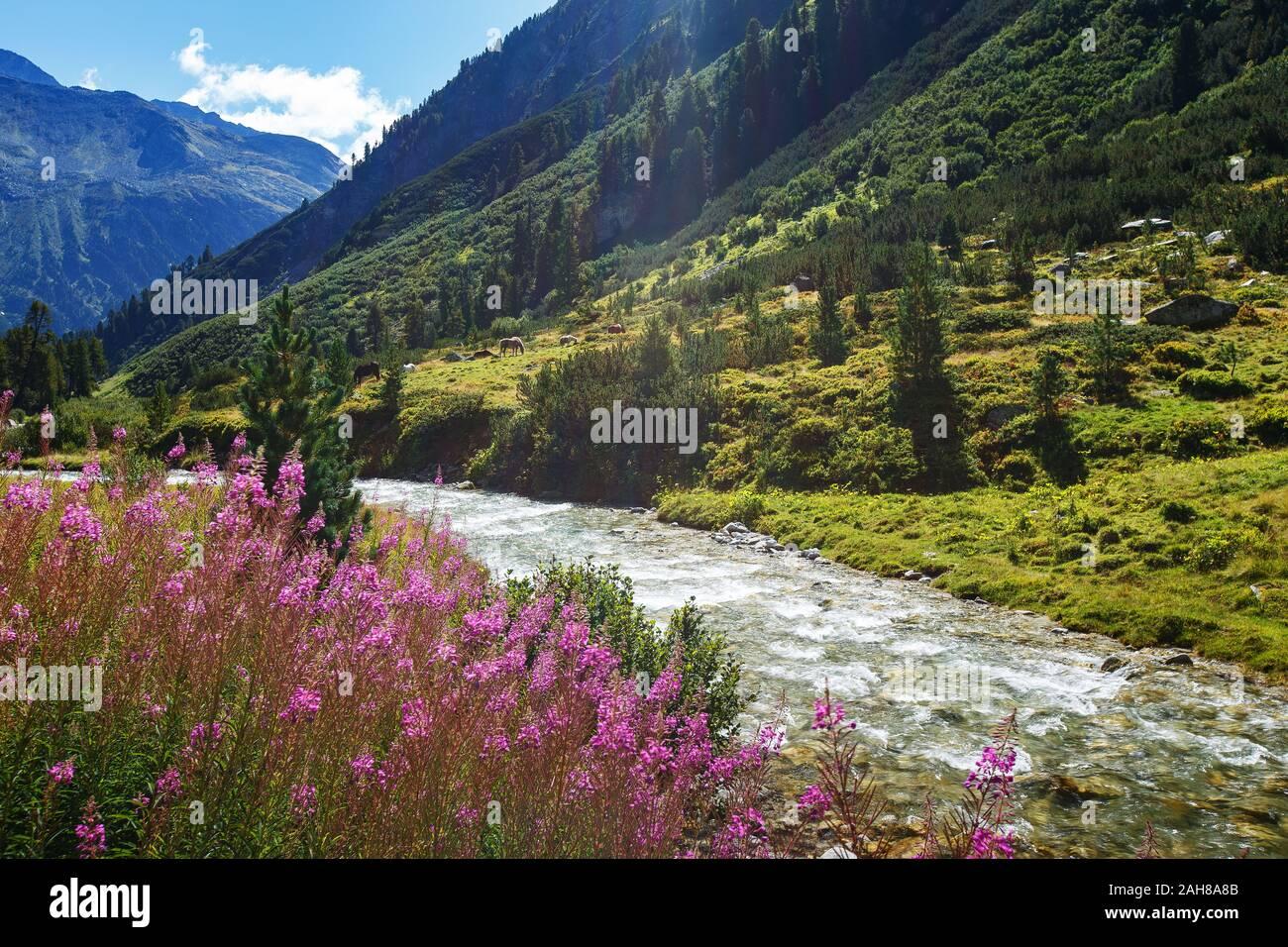 Mountain flowers and river. Rainbachtal. Alpine landscape, a side valley of the Krimmler Achental. Hohe Tauern National Park. Austrian Alps. Stock Photo