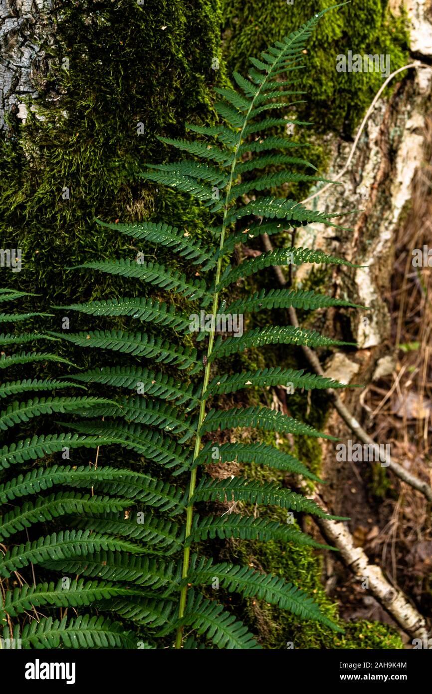 Zweig eines Waldfarns Nahaufnahme Stock Photo