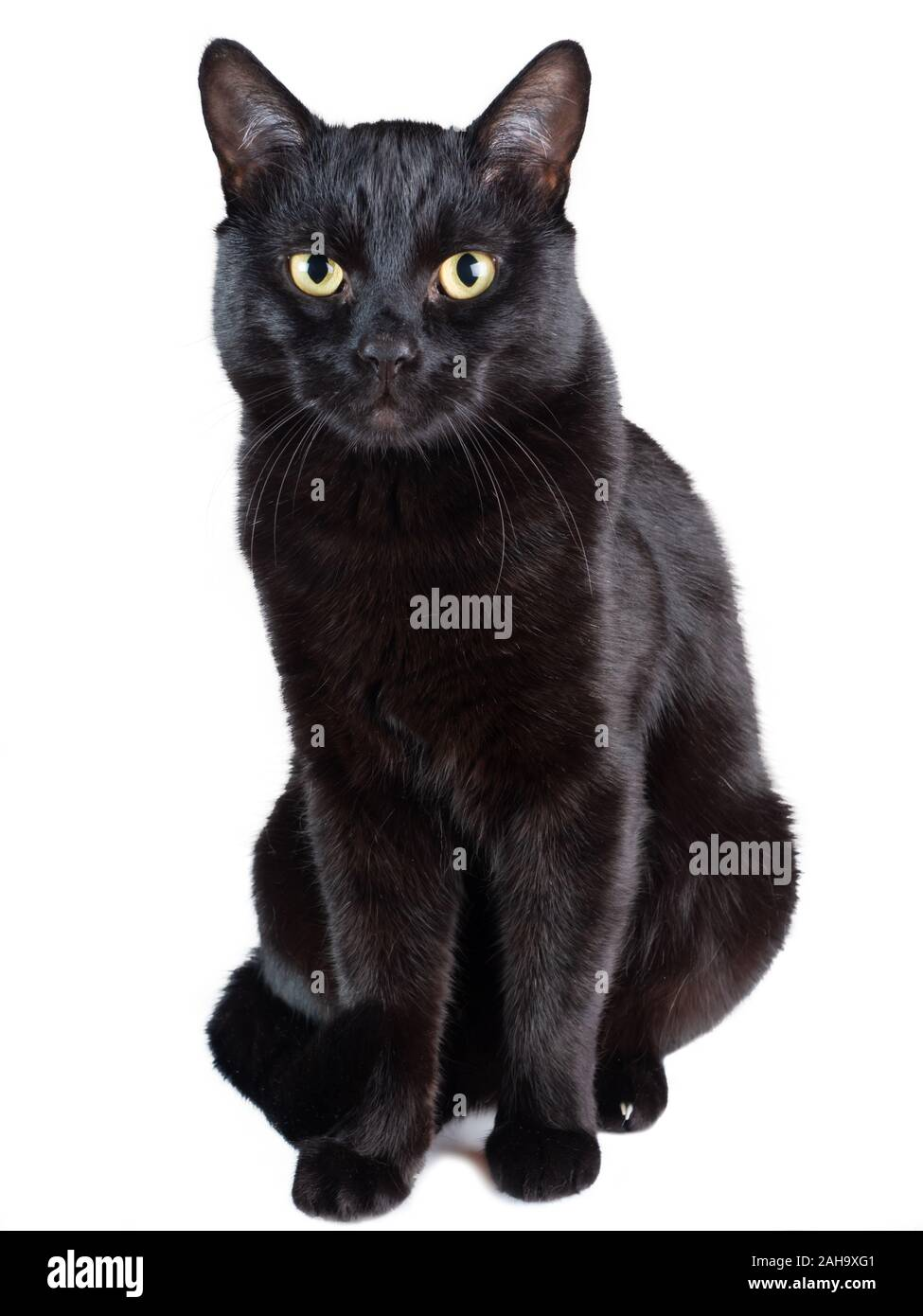 View Of A Black Cat In Front Of A White Backgroundblack Cat Sitting Isolated On A White Background Stock Photo Alamy