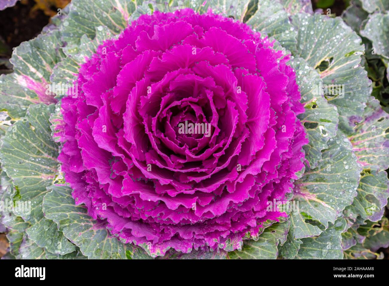 Growing Ornamental Kale Brassica Oleracea High Resolution Stock Photography And Images Alamy