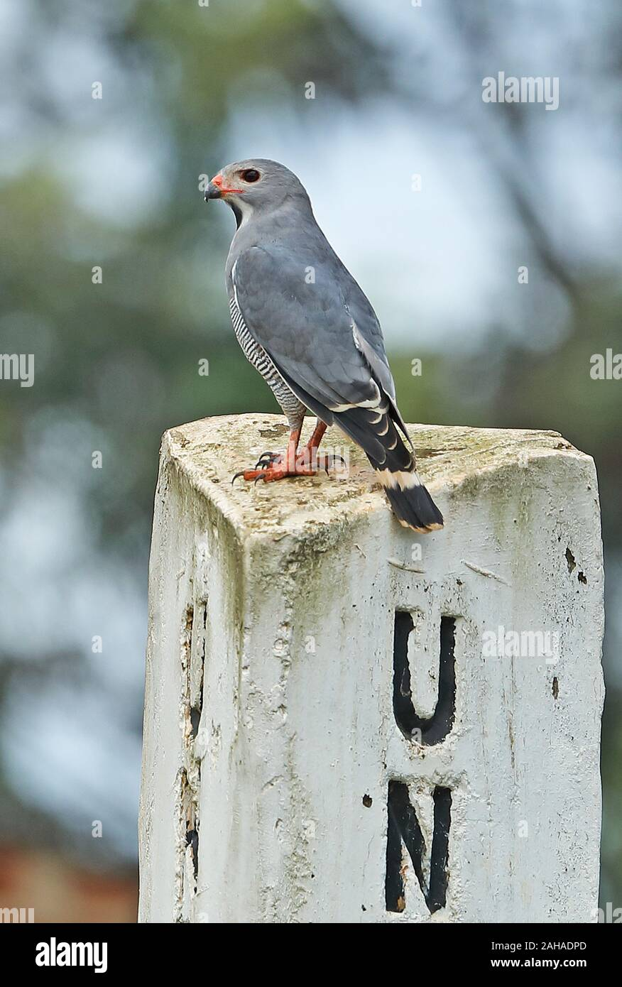Lizard Buzzard Kaupifalco Monogrammicus Monogrammicus Adult Perched On Marker Post Lake Mburo National Park Uganda November Stock Photo Alamy