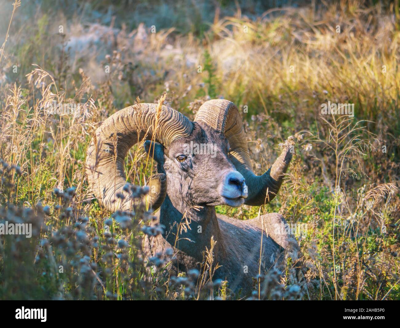 Portrait of an American bighorn sheep (Latin - Ovis canadensis) ram relaxing in the long grass of a valley in Yellowstone National Park, Wyoming. Stock Photo