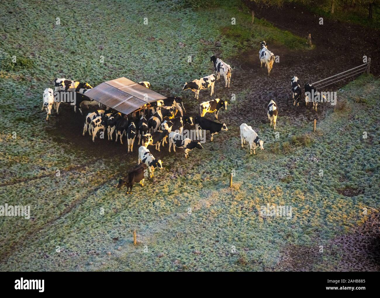 Aerial photo, cows on the pasture in Heessen am Futter trough, hoarfrost, morning impression, Hamm, Ruhr area, North Rhine-Westphalia, Germany, DE, Eu Stock Photo