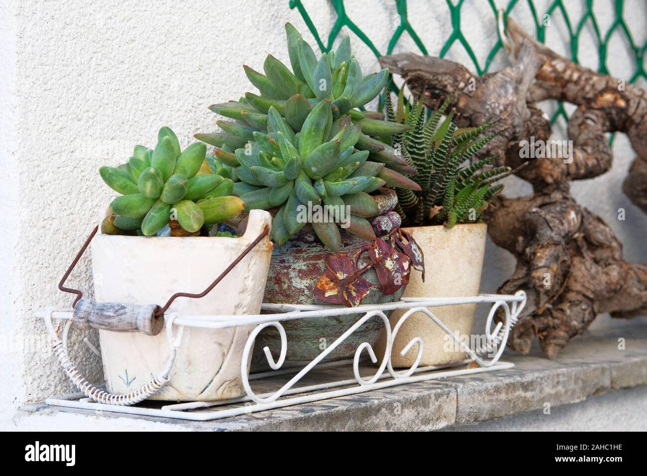 Pots With Succulents Plants In Courtyard Pachyphytum Plants From Mexico Greenhouse Succulent Plant For Landscape Design Stock Photo Alamy