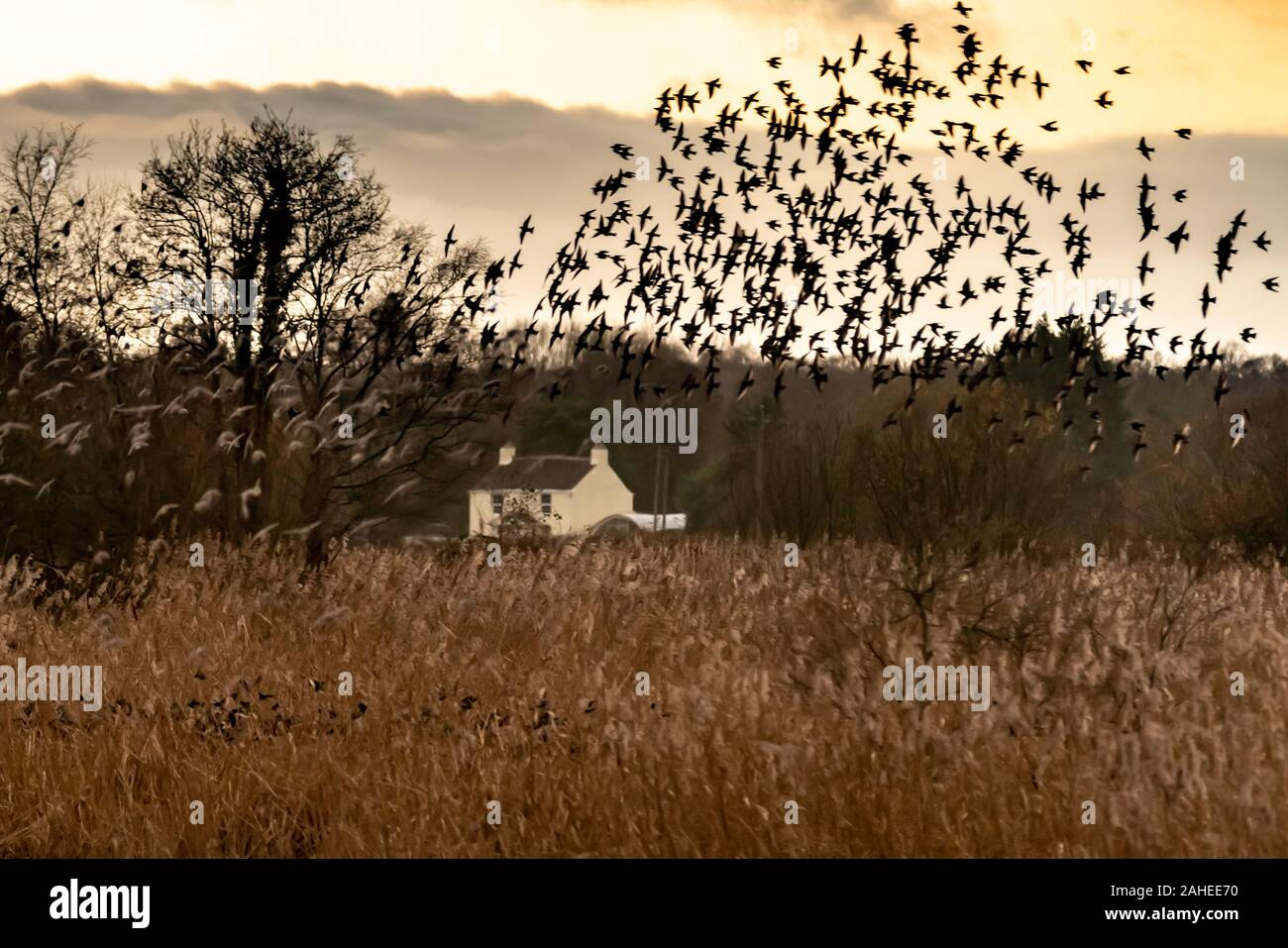 UK Weather: Christmas Eve evening starling murmuration at Ham Wall RSPB reserve, part of Avalon marshes wetlands nature reserve in Somerset, UK. Stock Photo
