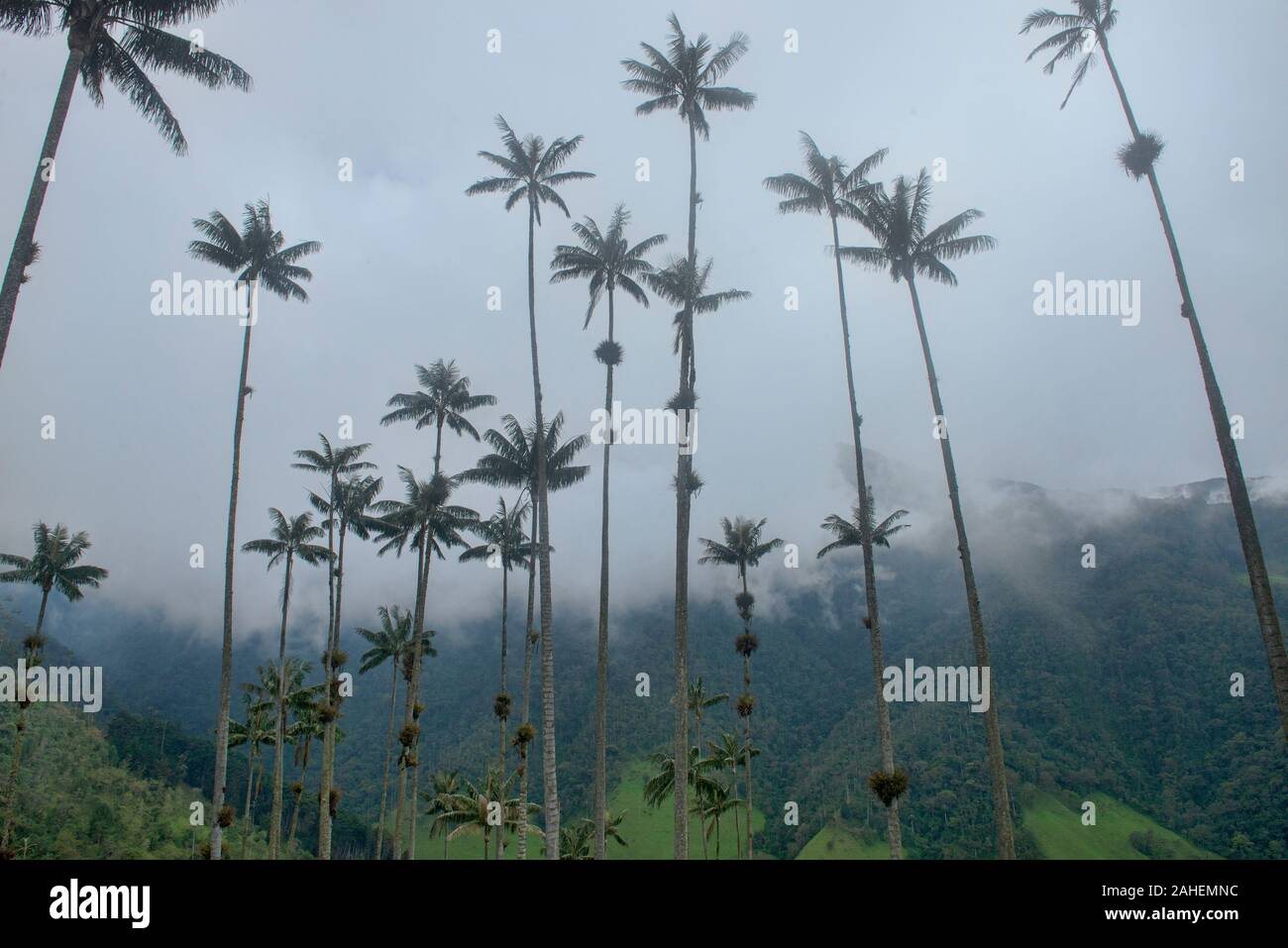 Wax palms (Ceroxylon quindiuense), the tallest palms in the world, Cocora Valley, Salento, Colombia Stock Photo