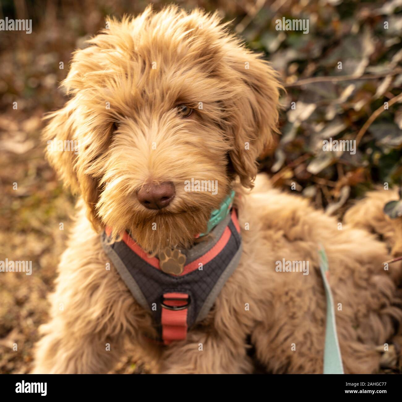 Adorable Goldendoodle Puppy Looking At Camera Stock Photo Alamy