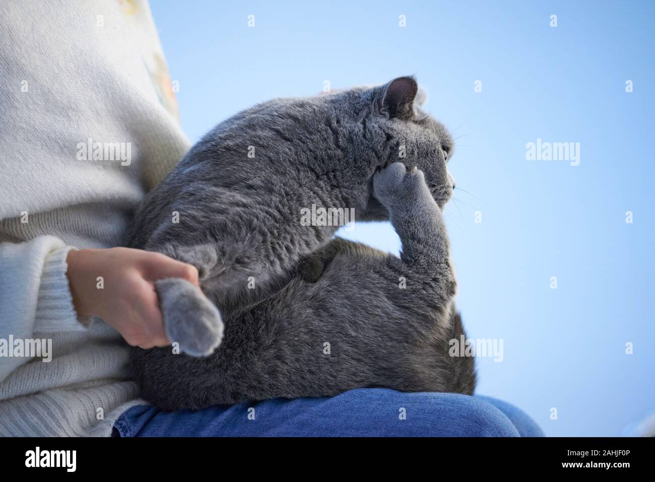 A little asian girl is holding a cute English shorthair cat Stock Photo
