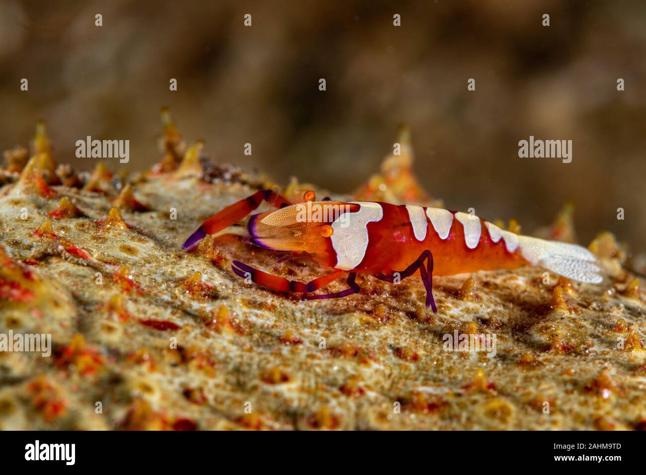 Emperor shrimp, Periclimenes imperator, is a organism of shrimp with a wide distribution across the Indo-Pacific Stock Photo