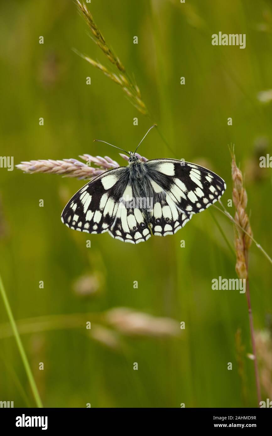 Male Marbled White Butterfly Melanargia galathea on chiltern hills Bucks Stock Photo