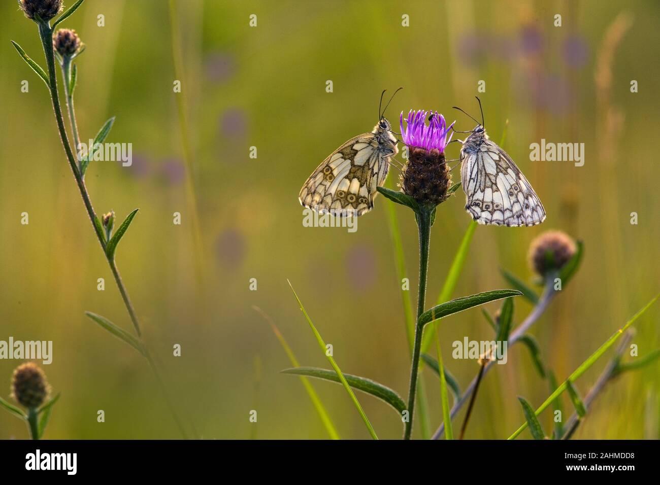 Male and female Marbled White Butterfly Melanargia galathea on chiltern hills Bucks Stock Photo