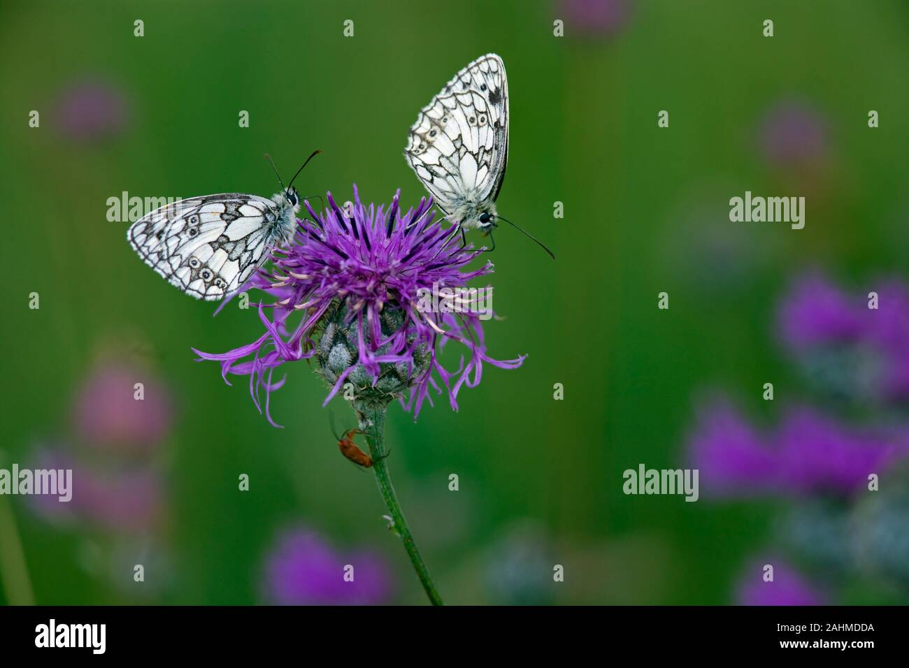 Male Marbled White Butterfly Melanargia galathea on chiltern hills Bucks Stock Photo